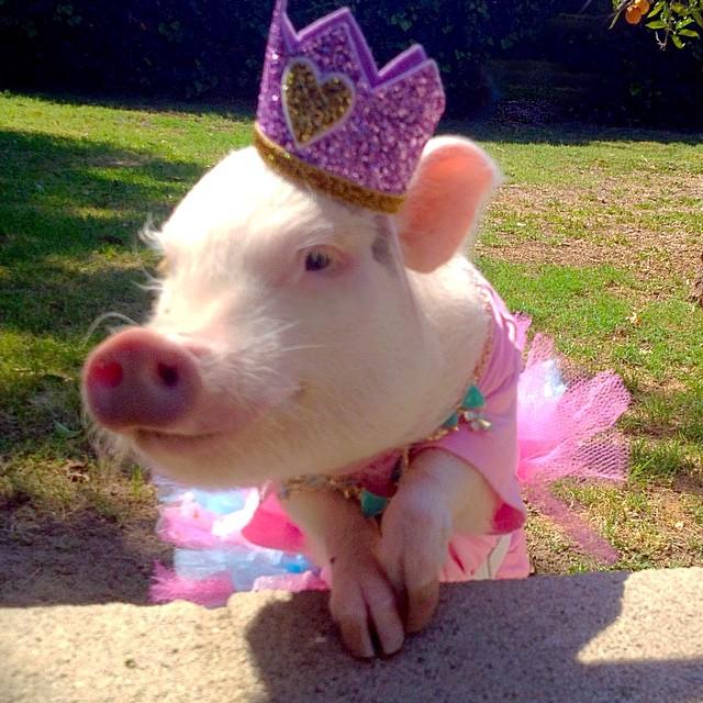 Наймиліша свинка в світі