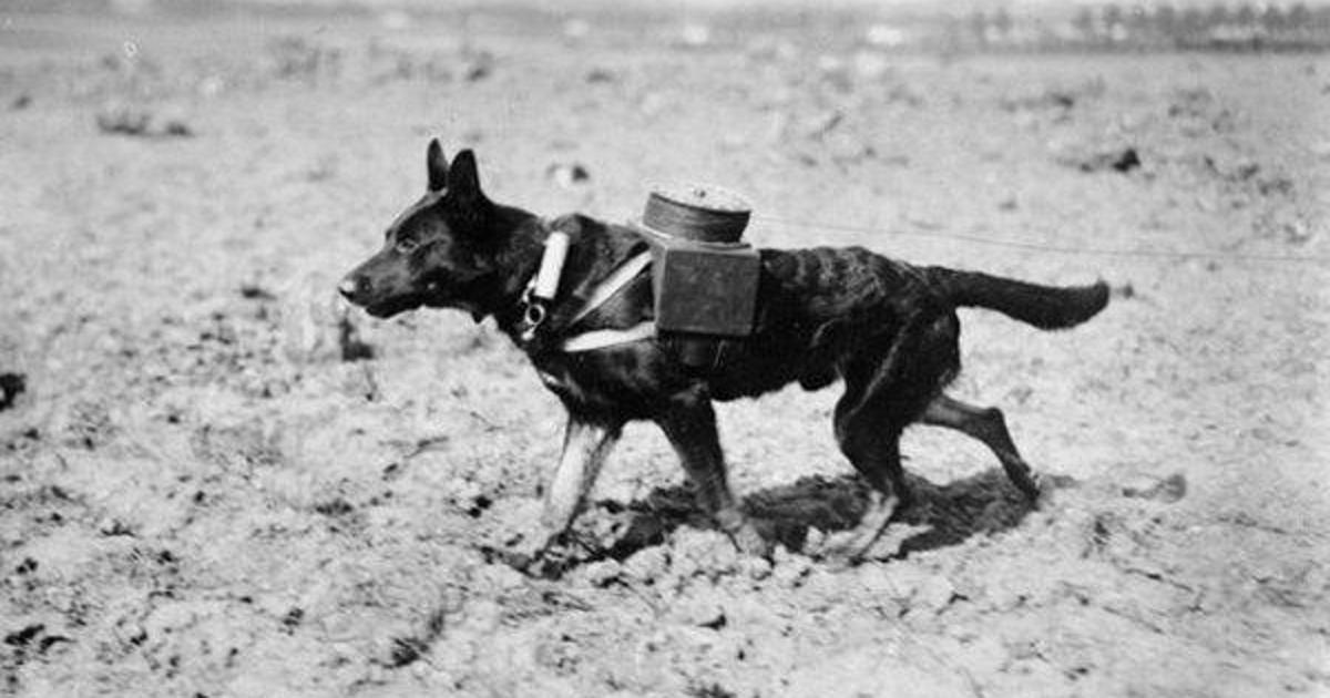 15 тварин які зробили свій внесок у Першу та Другу Світові Війни