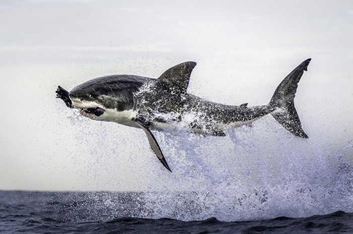 a_great_white_shark_becomes_airnborne_in_Cape_Town_South_Africa-700x465