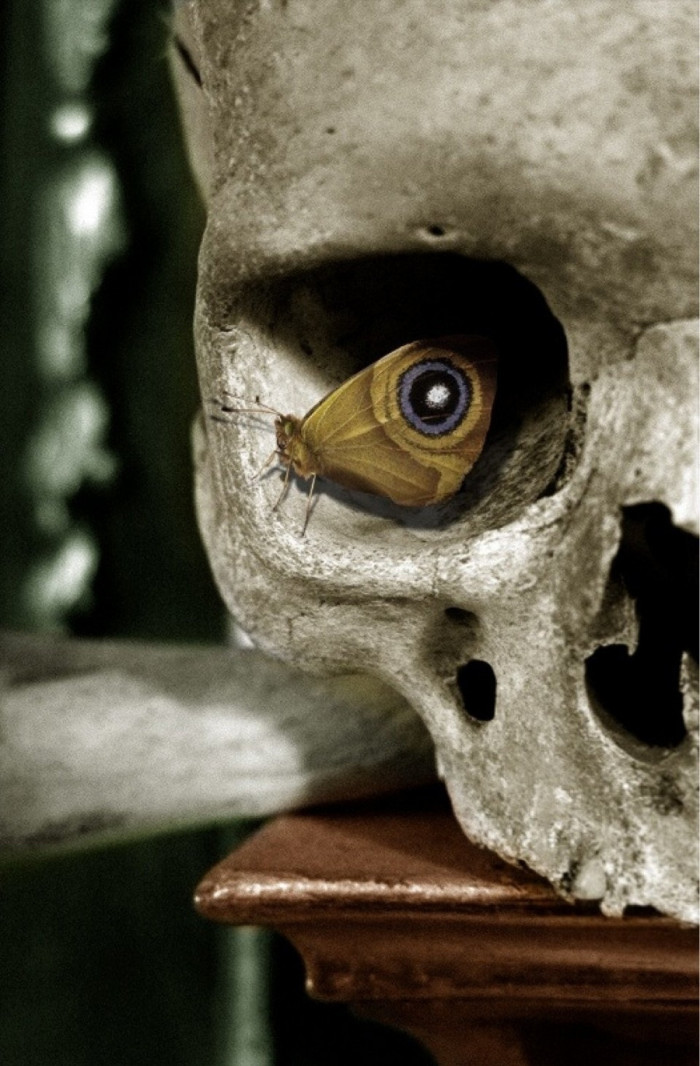 a_polyphemus_moth_rests_in_a_skull-700x1066