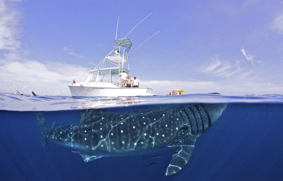 acurious_whale_shark_visits_with_a_boat