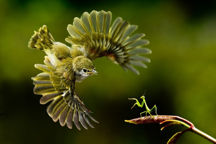 praying_mantis_takes_on_a_bird-700x465