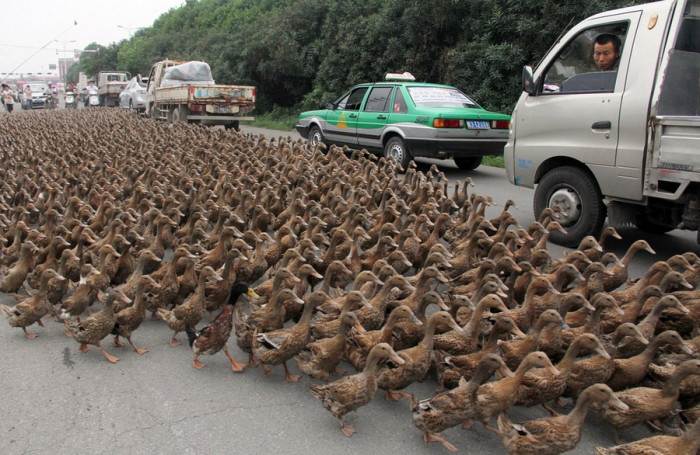 traffic_stops_as_over_5000_ducks_cross_a_road_in_Zhejiang_China-700x455