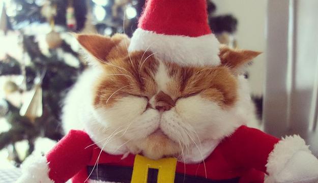 15 котів, в яких закінчилось терпіння чекати на Новий Рік