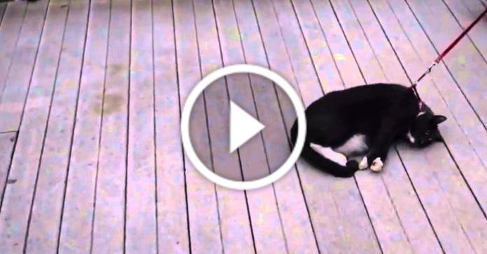 Лінивий кіт не хоче йти на прогулянку