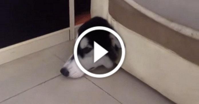 Пес прогриз діру в дивані, а потім у ній застряг