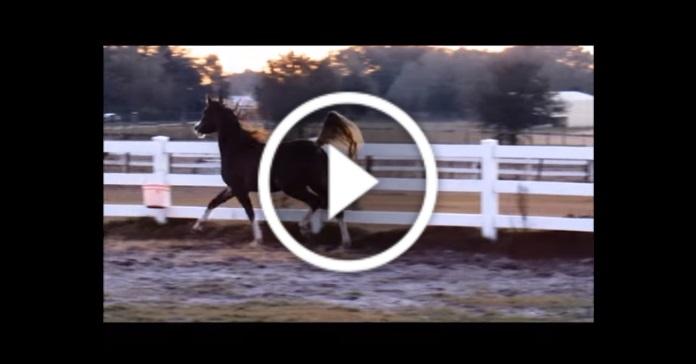 Арабська кобила танцює, наче балерина