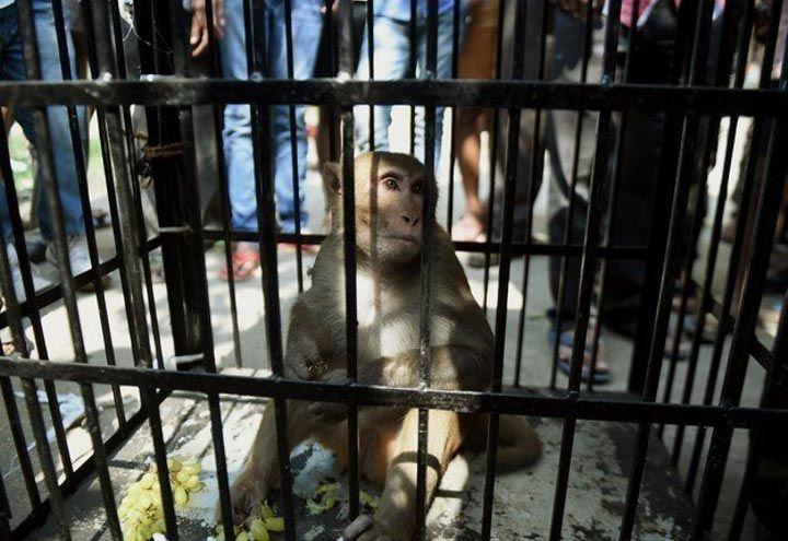 мавпа (1)