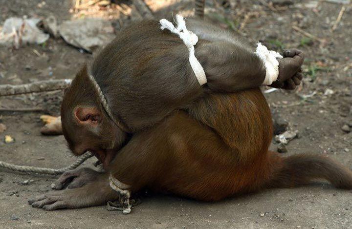мавпа (5)
