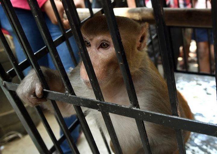 мавпа (7)