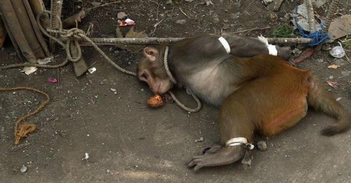 В Індії існує арешт мавп