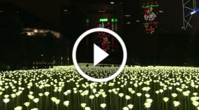 До Дня всіх закоханих заквітло 25 000 троянд