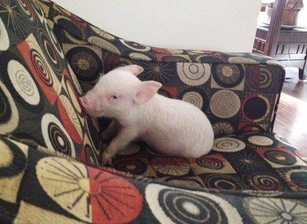 свиня (1)