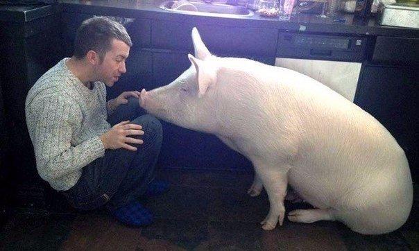 свиня (2)