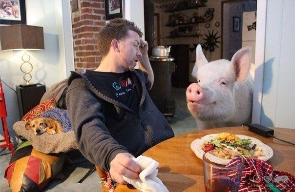 свиня (7)