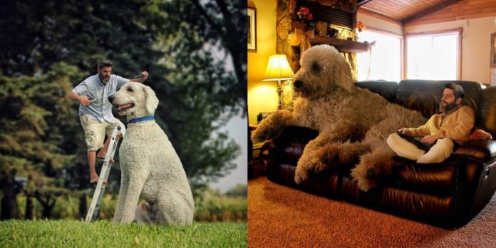 Як воно, жити з гігантським собакою?