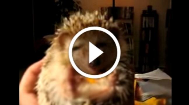 Їжачок їсть моркву. Дуже смішне відео