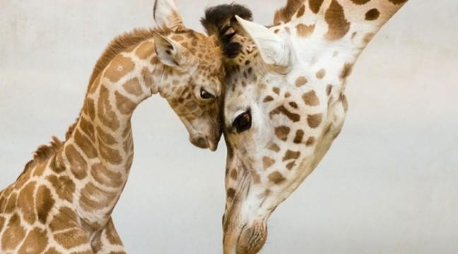 Тварини, які навчать вас бути хорошими батьками