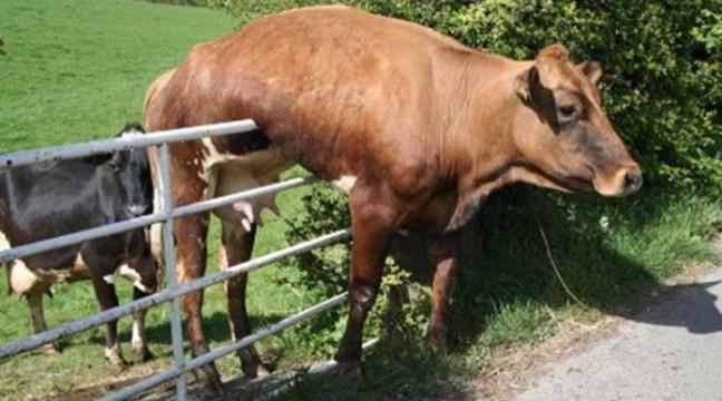 Корови забули, що вони просто корови. Веселять :)