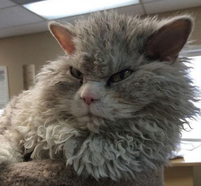 Кучерявий кіт, який усе ненавидить