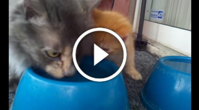 Смішний перший досвід: кошеня вчиться пити воду