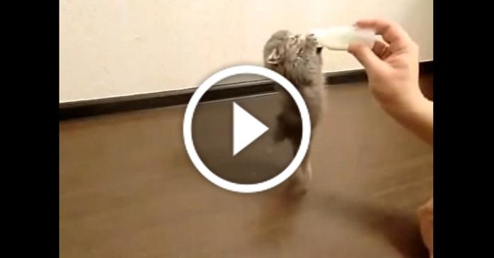 Смішне кошеня, яке дуже cильно любить молоко