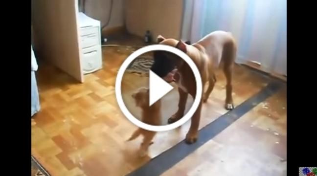 Сильно вмотивоване кошеня намагається забрати в собаки м'ясо. Оце вперте!