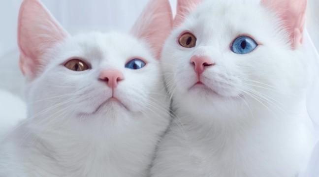 Найкрасивіші кішки-близнюки у світі