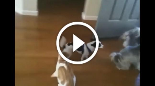 Щеня хоче піти погуляти зі своїми друзями, але ревнивий кіт категорично проти