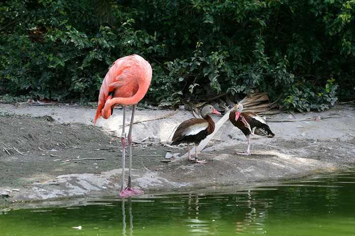 ducks-pretend-flamingos-1-57da9621f09a5__700