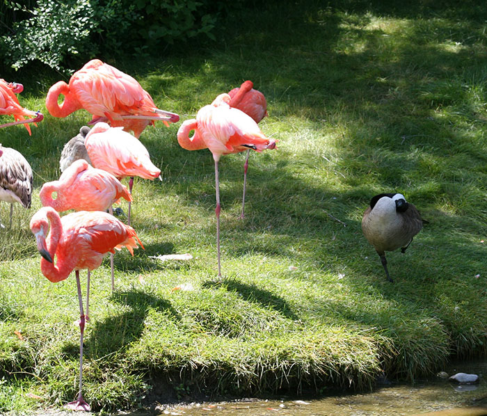 ducks-pretend-flamingos-11-57da9638545ba__700