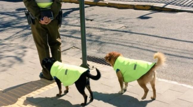 У Чилі безпритульних собак влаштовують на роботу і дають їм житло