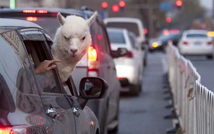 Тварини, які не сумніваються у своїй крутості
