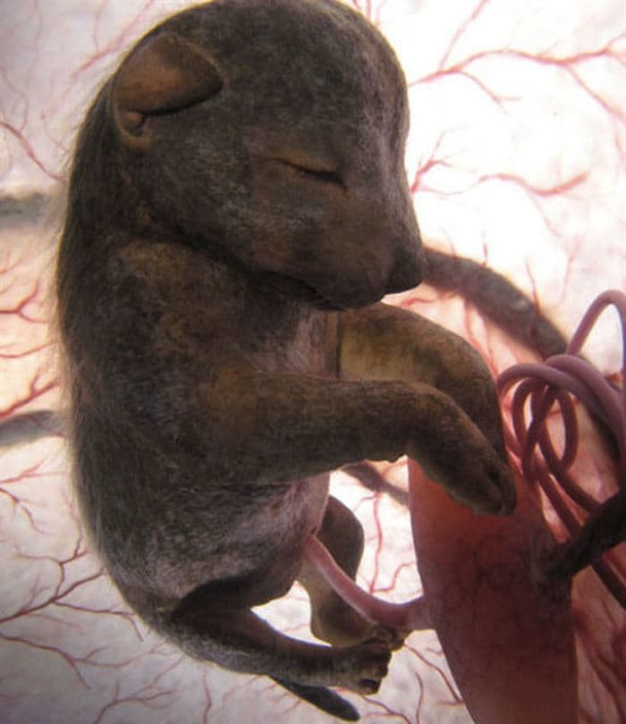 animals-womb-10