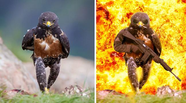 Войовничий яструб став героєм фотошоп-мемів