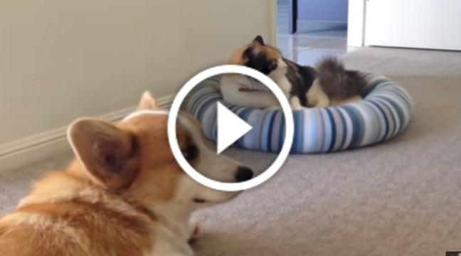 Тільки погляньте, як завзято цей коргі фліртує з котом