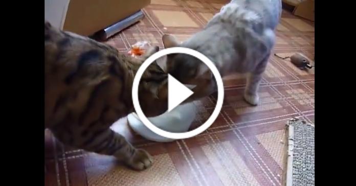 Ви будете вражені вихованістю цих двох котів