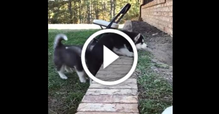 Смішне відео про двох маленьких хаскі, які вчаться перелазити через стіну