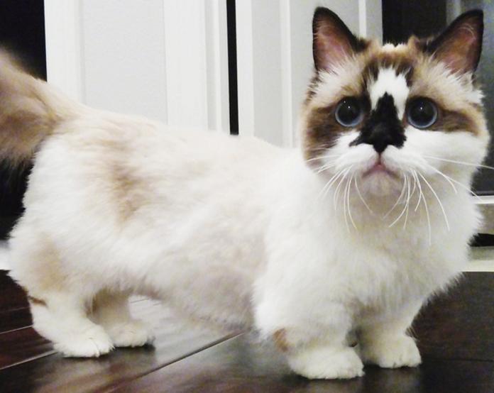 Манчкіни – порода котів, які все життя виглядають як кошенята
