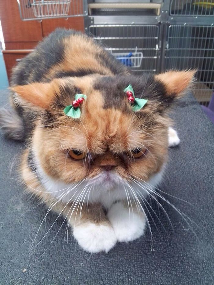 animals-do-not-like-christmas1-5835914ab8802__700