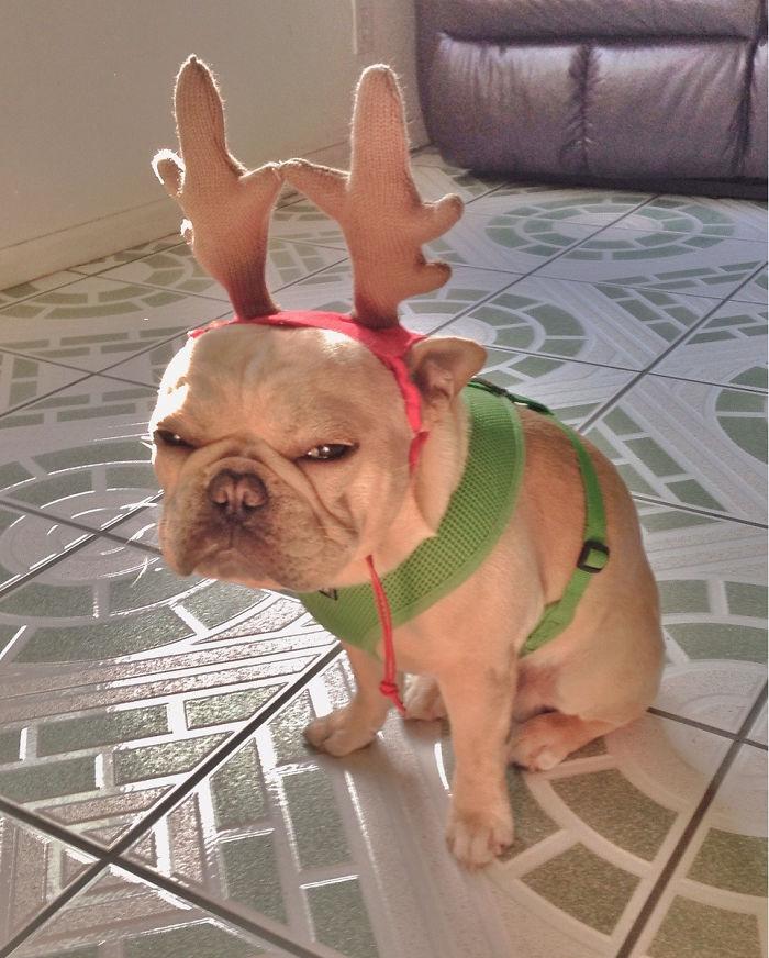 animals-do-not-like-christmas6-5835915c9f9a3__700