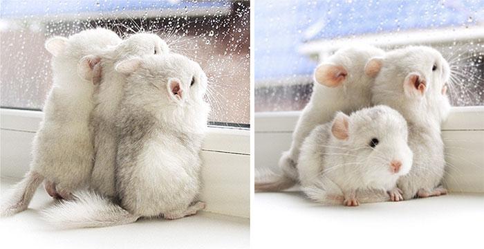 cute-baby-chinchillas-119-586cff70a4c5b__700