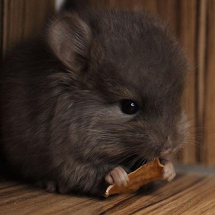 cute-baby-chinchillas-130-586d10e4ca335__700