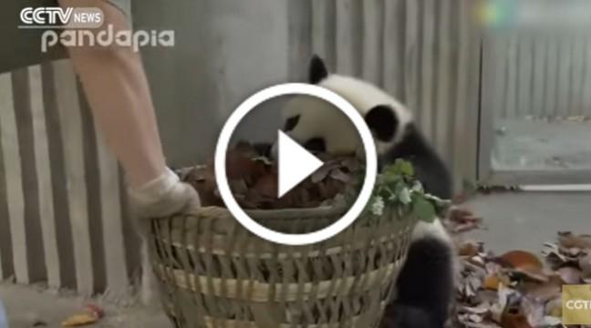 Надзвичайно миле відео: як панди допомагають прибирати територію