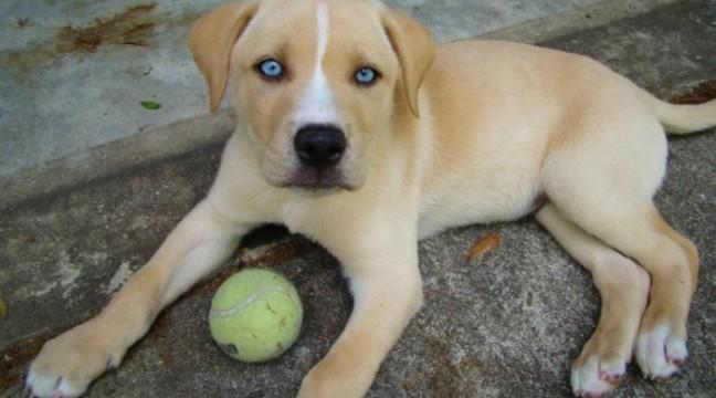 10 гібридів собак, які прибавлюють своєю незвичною красою