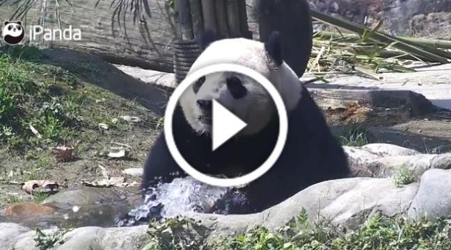 Панда так хлюпалась у воді, що не помітила, як стала інтернет-зіркою