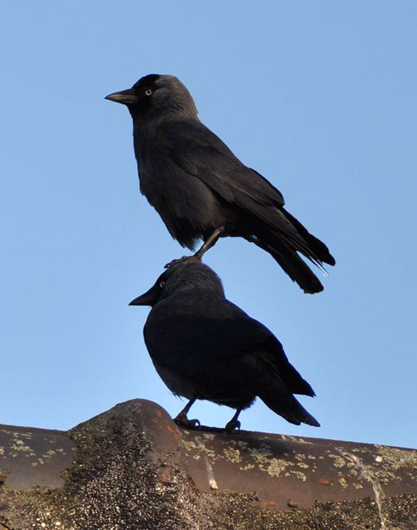 brave-crows-not-scared-106-58f8b4d877206__605