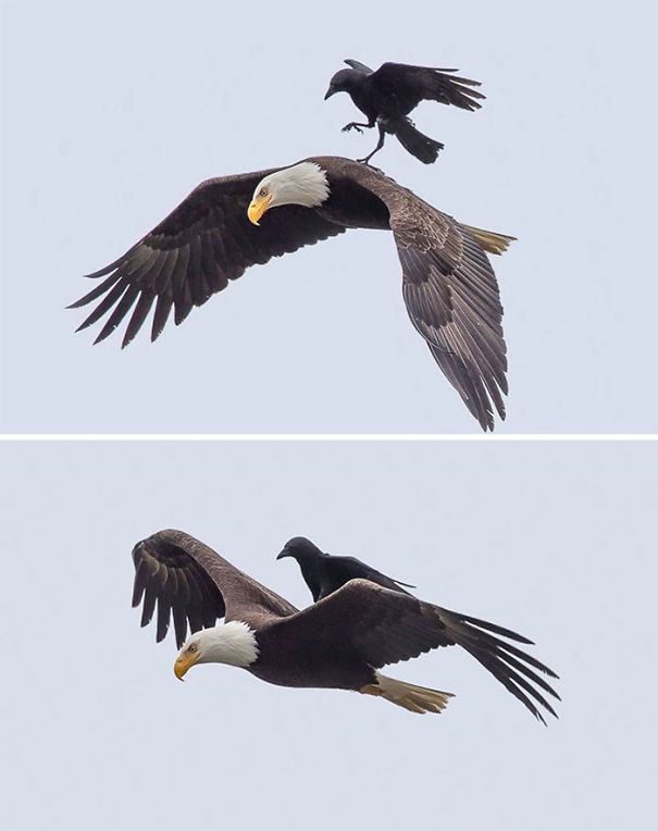 brave-crows-not-scared-123-59075fed3c024__605