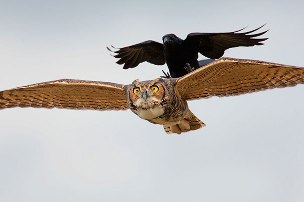 brave-crows-not-scared-128-58ff306e29441__605