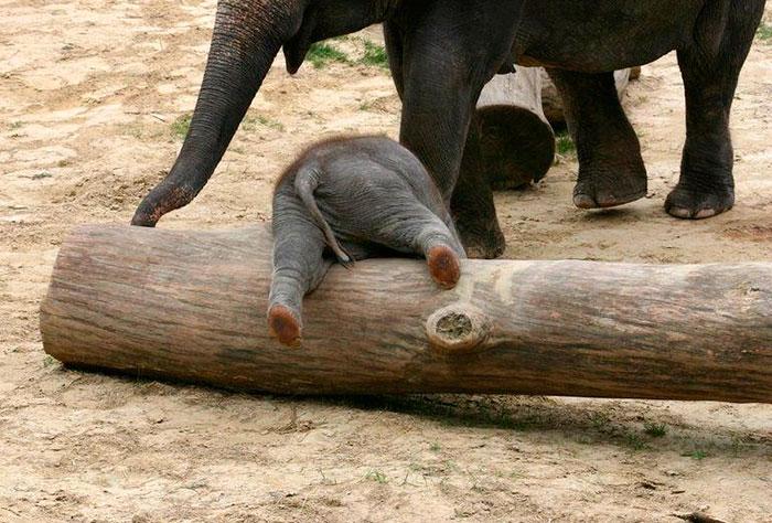 cute-baby-elephants-8-58fef1e92d7e9__700